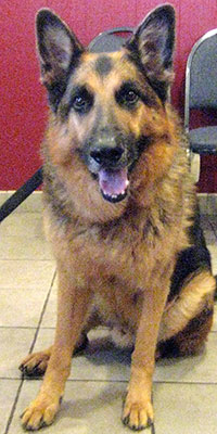 senior german shepherd here for wellness packages phoenix veterinarian